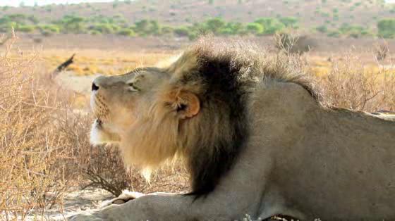Land Rover 'Non-genuine Animals: Lion'